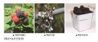 여름철 기력 보강에 도움 되는 복분자·오미자·홍화